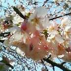 桜はまだかい(^O^)/